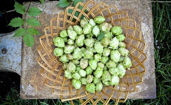 wet-hop-brewing