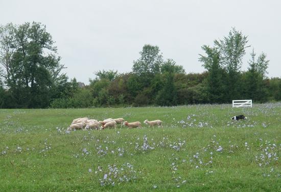 Waupoos Island sheep at Kingston Sheep Dog Trials